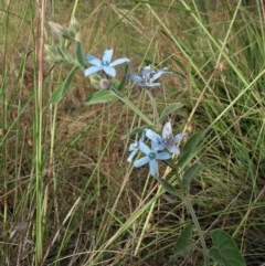 Oxypetalum coeruleum (Tweedia or Southern Star) at Cook, ACT - 3 Dec 2020 by CathB