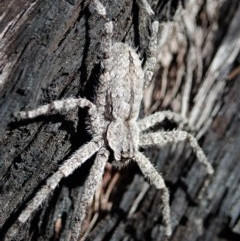 Stephanopis sp. (genus) (Knobbly crab spider) at Aranda Bushland - 4 Dec 2020 by CathB