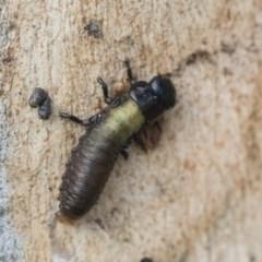 Paropsis genus-group (Unidentified 'paropsine' leaf beetle) at Hawker, ACT - 28 Nov 2020 by AlisonMilton