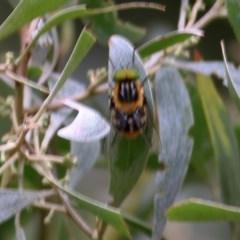 Scaptia (Scaptia) auriflua (A horse fly) at Wodonga - 5 Dec 2020 by Kyliegw
