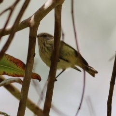 Acanthiza lineata (Striated Thornbill) at Wodonga - 5 Dec 2020 by Kyliegw