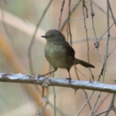 Acanthiza reguloides (Buff-rumped Thornbill) at Wodonga - 5 Dec 2020 by Kyliegw