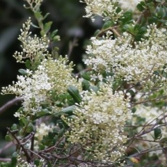 Bursaria spinosa (Native Blackthorn) at Wodonga - 5 Dec 2020 by Kyliegw