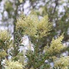 Bursaria spinosa at Wodonga - 6 Dec 2020