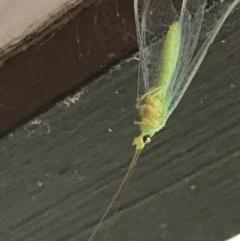 Mallada sp. (genus) (Green lacewing) at Cook, ACT - 4 Dec 2020 by MattFox