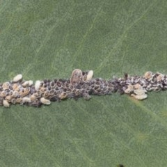 Coccoidea (superfamily) (Mealy bug or scale insect) at Mount Mugga Mugga - 30 Nov 2020 by AlisonMilton