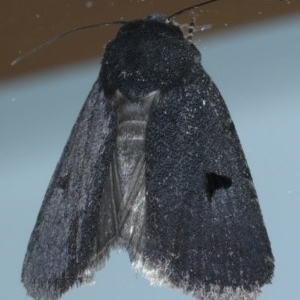 Thoracolopha undescribed species MoV6 at Ainslie, ACT - 3 Dec 2020