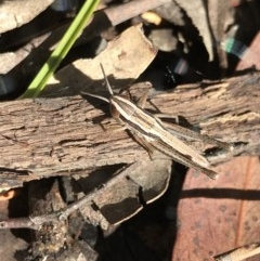 Macrotona australis (Common Macrotona Grasshopper) at Point 49 - 5 Dec 2020 by MattFox