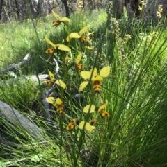 Diuris sulphurea (Tiger orchid) at Mount Majura - 5 Nov 2020 by Louisab