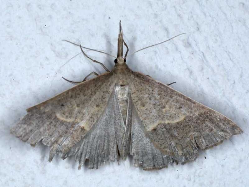 Epidesmia hypenaria at Ainslie, ACT - 4 Dec 2020