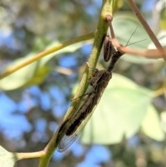 Mantispidae (family) (Unidentified mantisfly) at Federal Golf Course - 5 Dec 2020 by JackyF
