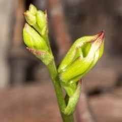 Caleana minor (Small Duck Orchid) at Jerrabomberra, NSW - 2 Nov 2020 by DerekC