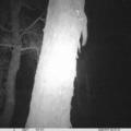 Petaurus norfolcensis at Albury - 16 Nov 2020