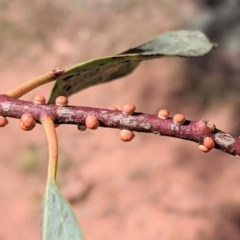 Eriococcus coriaceus (Gumtree Scale) at Federal Golf Course - 6 Dec 2020 by JackyF