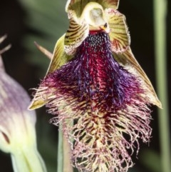 Calochilus platychilus (Purple beard orchid) at Mount Clear, ACT - 27 Nov 2020 by DerekC