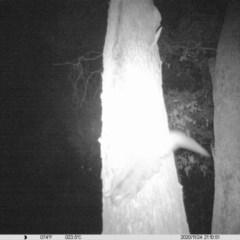 Petaurus norfolcensis (Squirrel Glider) at Corry's Wood - 24 Nov 2020 by ChrisAllen