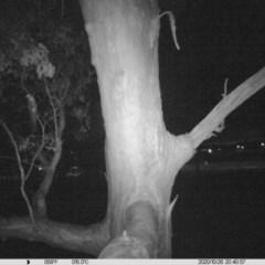 Petaurus norfolcensis (Squirrel Glider) at Albury - 26 Oct 2020 by ChrisAllen