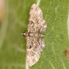 Chloroclystis (genus) (A geometer moth) at O'Connor, ACT - 3 Dec 2020 by ibaird