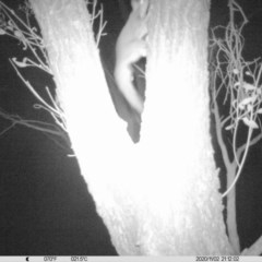 Petaurus norfolcensis (Squirrel Glider) at National Environment Centre (Riverina Institute of Tafe) - 2 Nov 2020 by ChrisAllen