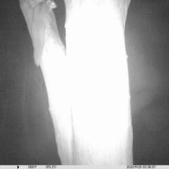 Petaurus norfolcensis (Squirrel Glider) at Albury - 24 Nov 2020 by ChrisAllen