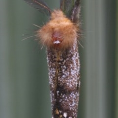 Unidentified Moth (Lepidoptera) (TBC) at Wingecarribee Local Government Area - 8 Nov 2020 by Curiosity