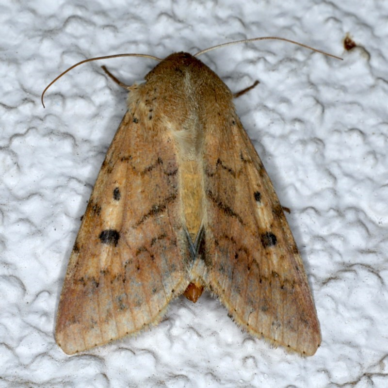 Helicoverpa (genus) at Ainslie, ACT - 5 Dec 2020