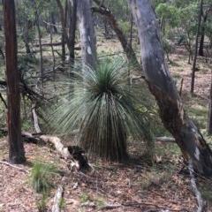 Xanthorrhoea sp. (Grass tree) at Mundoonen Nature Reserve - 4 Dec 2020 by Ned_Johnston