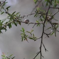 Unidentified Other Shrub (TBC) at Moruya, NSW - 6 Dec 2020 by LisaH