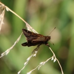 Unidentified Butterfly (TBC) at Moruya, NSW - 5 Dec 2020 by LisaH