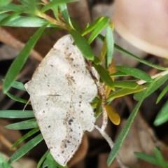 Taxeotis intextata (Looper Moth, Grey Taxeotis) at Lyneham, ACT - 7 Dec 2020 by tpreston