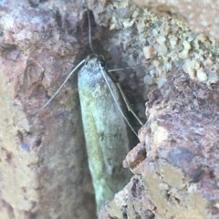 Oecophorinae (subfamily) (Unidentified Oecophorinae concealer moth) at Lyneham, ACT - 7 Dec 2020 by Ned_Johnston