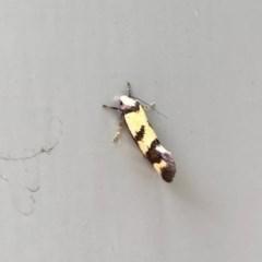 Olbonoma triptycha (Concealer moth) at Aranda, ACT - 6 Dec 2020 by KMcCue