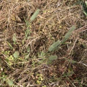 Trifolium angustifolium at Hughes Garran Woodland - 7 Dec 2020