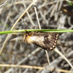 Epicoma contristis (Yellow-spotted Epicoma Moth) at Mount Taylor - 5 Dec 2020 by MatthewFrawley