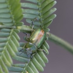 Calomela parilis (Acacia leaf beetle) at Goorooyarroo - 7 Nov 2020 by AlisonMilton