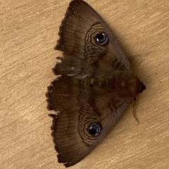 Dasypodia selenophora (Southern old lady moth) at Deakin, ACT - 25 Nov 2020 by AdventureGirl