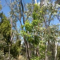Sorbus domestica (Service Tree) at Mount Majura - 6 Dec 2020 by abread111