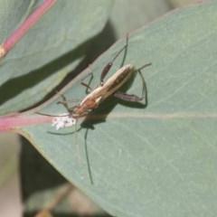 Melanacanthus scutellaris (Small brown bean bug) at Mount Mugga Mugga - 30 Nov 2020 by AlisonMilton