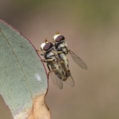 Simosyrphus grandicornis (Common hover fly) at Mount Mugga Mugga - 30 Nov 2020 by AlisonMilton