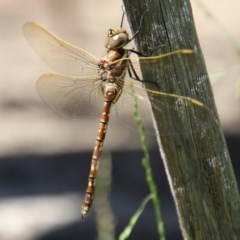 Adversaeschna brevistyla (Blue-spotted Hawker) at Moruya, NSW - 5 Dec 2020 by LisaH