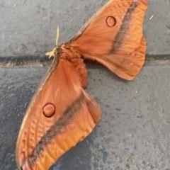 Unidentified Emperor moths (Saturnidae) (TBC) at Moruya, NSW - 6 Dec 2020 by LisaH