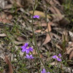 Scaevola ramosissima (Hairy Fan-flower) at - 17 Nov 2020 by Aussiegall