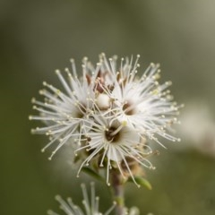 Kunzea ambigua (Tick Bush) at Penrose - 17 Nov 2020 by Aussiegall