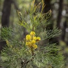 Petrophile pedunculata (Conesticks) at Wingecarribee Local Government Area - 2 Dec 2020 by Aussiegall