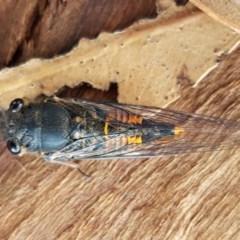 Yoyetta robertsonae (Clicking Ambertail) at Crace Grasslands - 7 Dec 2020 by tpreston