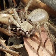 Isopeda sp. (genus) (Huntsman Spider) at Mitchell, ACT - 7 Dec 2020 by tpreston