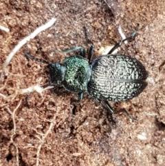 Adelium porcatum (Darkling Beetle) at Crace Grasslands - 7 Dec 2020 by tpreston