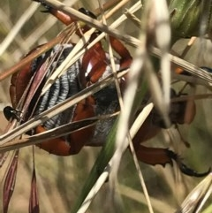 Anoplognathus montanus at Crace Grasslands - 8 Dec 2020