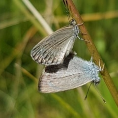 Zizina otis (Common Grass-blue) at Crace Grasslands - 7 Dec 2020 by tpreston