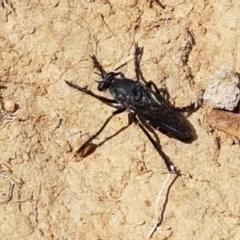 Apothechyla sp. (genus) at Crace Grasslands - 8 Dec 2020